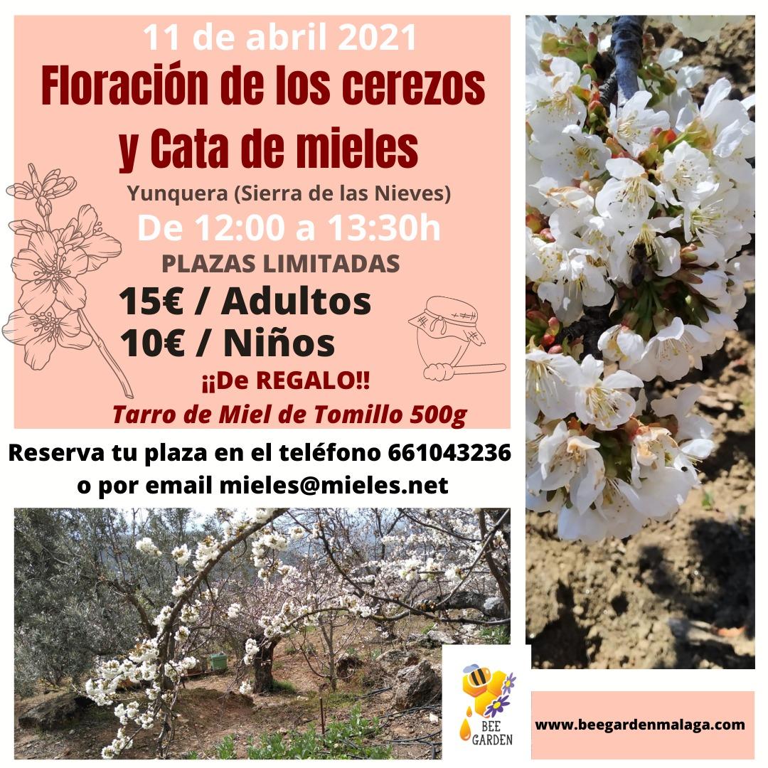 Floración de los cerezos 11 abril