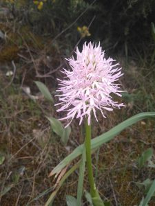 Orchis italica. Orquídea